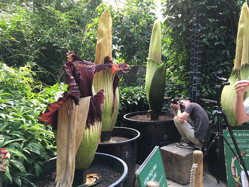 Filming the Titan Arum